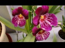 Орхидея и орхидеи Мильтония. Орхидеи Ванда, Дендробиум, Камбрия, Мильтония, Фаленопсис