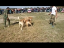 Собачьи бои (1)