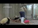 The hard life of a panda zookeeper