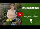 Спатифиллум 🌼 Уход в домашних условиях 🌼 Комнатные растения с Хитсад