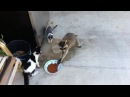 Raccoon stealing cats food