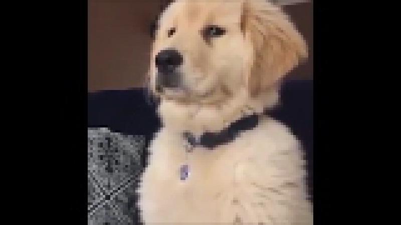 Смешные собаки порода Золотой ретривер 2017 №6