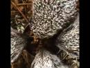 Їжаки як поросятка :) Hedgehogs eat like pigs :)