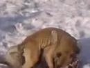 Битвы животных. Волк против собаки