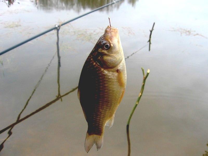 Все о рыбалке как ловить рыбу карась