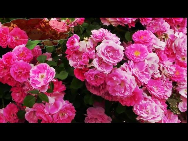 Гармоничный, красивый, ухоженный сад и безумно красивые розы | Roses in the garden