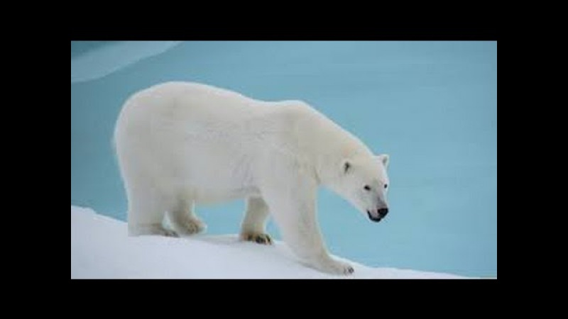 Суперхищники — Полярный медведь. Документальные фильмы, передачи HD 11.01.2017 » Freewka.com - Смотреть онлайн в хорощем качестве