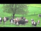 Vacas liberadas no pasto ap