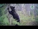"""Медведица с медвежатами в заповеднике """"Костомукшский"""""""