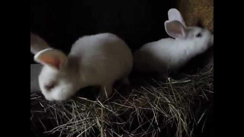 Крольчата НЗБ самцы, 2 месяца от роду
