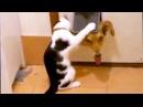 Кошки и собаки - друзья, или враги Лучшие приколы кошек с собаками, их игры и прот...