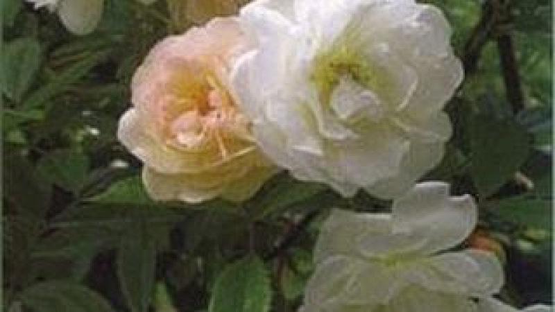 Choisir et Planter ses Rosiers - Rempotage, arrosage, entretien, culture