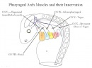Medical Embryology Development of the Pharyngeal Arches