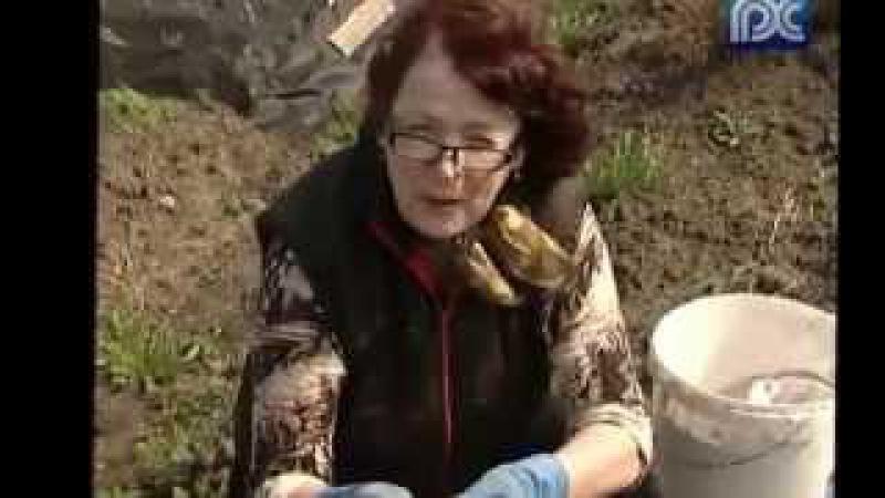 Когда сажать садить картофель Борьба с проволочником