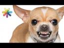 Как перевоспитать агрессивную собаку Все буде добре Выпуск 893 от 10 10 16