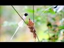 Райская мухоловка Terpsiphone paradisi Indian paradise flycatcher