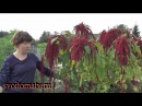 Амарант выращивание и уход