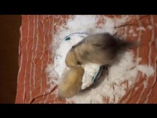 Два хорька и тазик снега