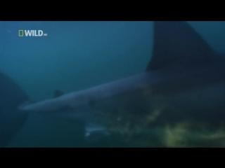 Дикая природа. Акула по кличке Николь (Документальные фильмы National Geographic