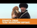Тазы Казахские борзые. Планета собак 🌏 Моя Планета