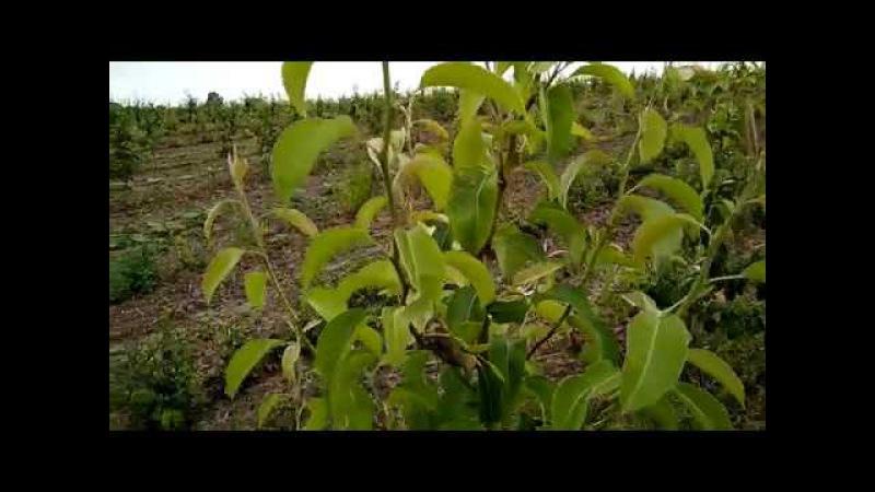 Зеленые операции на яблоне и груше Завершение