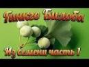 Гинкго билоба выращивание в средней полосе России (Ginkgo biloba) часть 1 проращивание