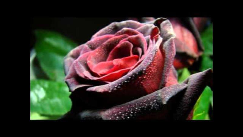 Роза Әлқожа Асыл жарым