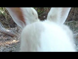 Остров кроликов в Японии (Окуносима)
