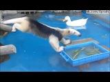 Муравьед пытается поесть и не намокнуть в воде - Aardvark tries to eat and do not get wet