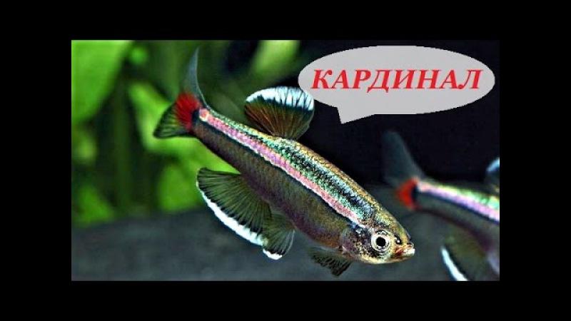 Кардинал рыбка аквариумная, содержание кардиналов, разведение, уход, кормление, совместимость.