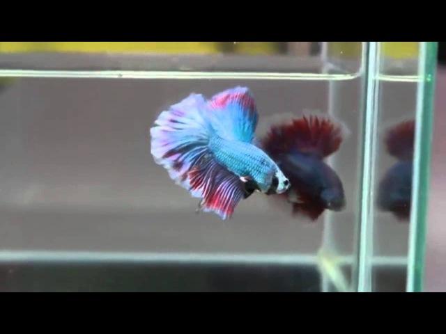 Рыба Петушок. Бойцовая рыба или сиамский петушок. Уход, содержание и размножение.