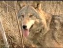 Волки. Общение в стае. Wolves. Communication in the pack. дикий мир и поведение животных в нем.