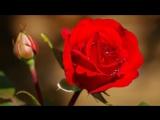 Очень красивые розы и музыка Игоря Крутого.Присоединяйтесь ➡ https://m.vk.com/vambuketcvetov