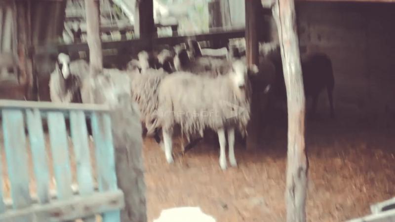 Маремма-абруццкая овчарка