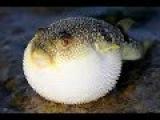 Русские на Бали №22. Ядовитая Рыба Фугу. Добыча Рыбы. Гигантская Сеть.