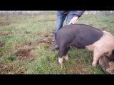 Как выпрямить хвост свиньи!