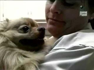 Померанский шпиц . Animal Planet. Документальный фильм о породах собак.