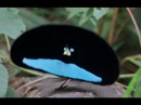 💙 The Paradise Bird Dance ➖ The Bird-of-Paradise and its colorful courtship (mating) dance 💙