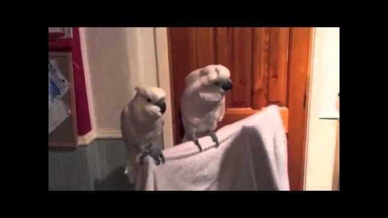 Попугаи танцуют под гитару.Улетное видео