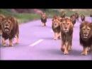Толпа львов куда-то идет по дороге