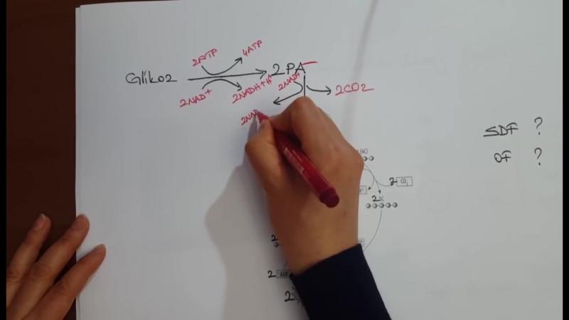 Oksijenli Solunum 1 Glikoliz-Krebs-ETS-Kemiozmozis-OF