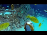 Sand Tiger Shark Feeding