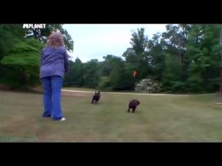 «Введение в собаковедение» (21 серия) (Научно-популярный, животные, 2010)