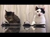 Смотрите, коты научили человека давать им еду по команде! Люди такие способные.
