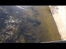 Сомы мутанты в радиоактивном чернобыльском пруду охладителе
