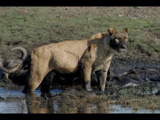 Мир Приключений - Львица с добычей. Нац. парк Чобе. Ботсвана. Lioness attack. Chobe National park.