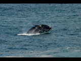 Мир Приключений - Залив Уолкер Бэй. Южный кит. Южная Африка. Walker Bay. South Africa..