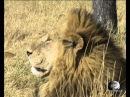 Мир Приключений Прайд львов Леопард Мореми Окаванго Ботсвана Moremi Okavango Botswana