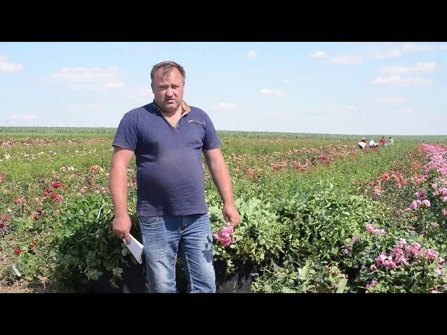 Яскрава Клумба - саженцы роз из собственного питомника