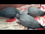 Птенцы жако выкормыши играются, African grey parrots